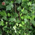 1Pc 230Cm Green Vine Silk Artificial Ivy Hanging Leaf Garland Plants Creeper Leaf Home Decor Wedding Bathroom Garden Decoration preview-5